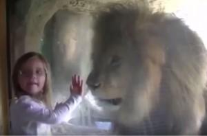 睨むライオン