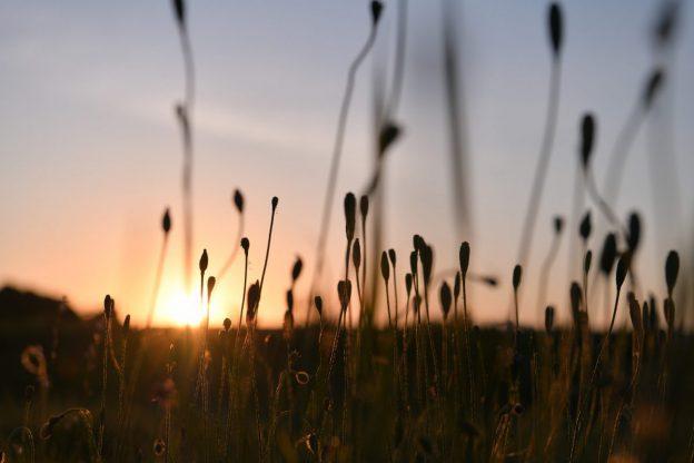 ケシの実と夕日